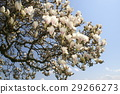 old magnolia tree with lush flowers, blue sky 29266273