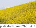 菜の花 29268411