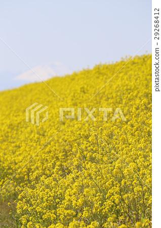 꽃, 플라워, 유채 29268412