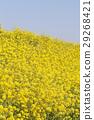 菜の花 29268421