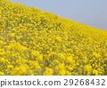 菜の花 29268432
