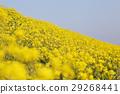 菜の花 29268441