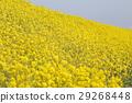 ดอกไม้ข่มขืน 29268448