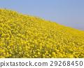 菜の花 29268450
