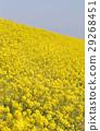 菜の花 29268451