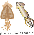 pacific flying squid, cuttlefish, squid 29269613