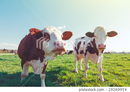 Dairy Cow. Cows at summer green field 29269954