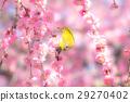 스즈카의 숲 정원 수양 매화와 동박새 29270402