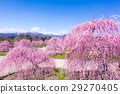 Suzuka no Mori Garden The weeping plum 29270405
