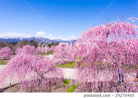 스즈카의 숲 정원 수양 매화 29270405
