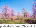 weeping japanese apricot, mie prefecture, ume 29270414