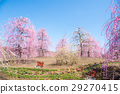weeping japanese apricot, mie prefecture, ume 29270415