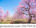 weeping japanese apricot, mie prefecture, ume 29270416