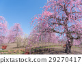 weeping japanese apricot, mie prefecture, ume 29270417