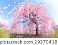 weeping japanese apricot, mie prefecture, ume 29270419