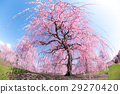 weeping japanese apricot, mie prefecture, ume 29270420