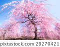 weeping japanese apricot, mie prefecture, ume 29270421