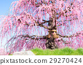 weeping japanese apricot, mie prefecture, ume 29270424