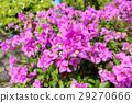 Selective focus Bougainvillea flower in flower bed 29270666