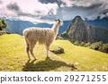 Llama in Machu Picchu 29271255
