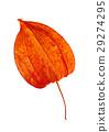 Fruit - Cape gooseberry 29274295