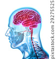 Human Internal Organic - Brain. 29275525