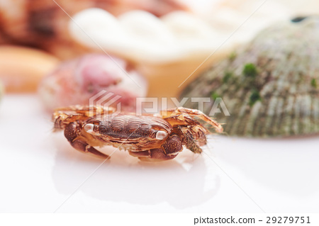 crab sitting on shell background 29279751