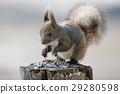 松鼠 北海道松鼠 日本北海道松鼠 29280598