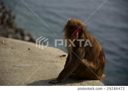 monkey 29286472
