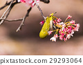 winter, cherry, blossoms 29293064