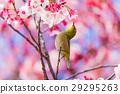 winter, cherry, blossoms 29295263