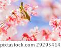 winter, cherry, blossoms 29295414