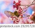 winter, cherry, blossoms 29295728