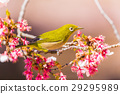 winter, cherry, blossoms 29295989