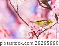 winter, cherry, blossoms 29295990