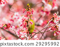 winter, cherry, blossoms 29295992
