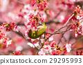 winter, cherry, blossoms 29295993