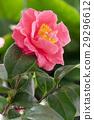 茶花 花朵 花卉 29296612