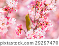 winter, cherry, blossoms 29297470