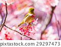 winter, cherry, blossoms 29297473