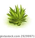 Green aloe 29299971