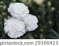 꽃, 플라워, 카네이션 29300423