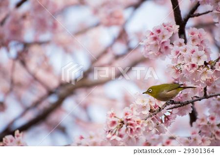 동박새 _ 카와 벚꽃 5 29301364