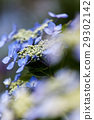 hydrangea, bloom, blossom 29302142