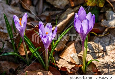 purple crocus flowers in forest 29302512