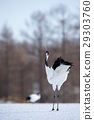 red-crowned, crane, japanese 29303760