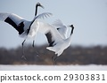 japanese, crane, red-crowned 29303831