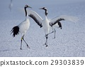 japanese, crane, red-crowned 29303839
