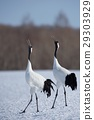 red-crowned, crane, japanese 29303929