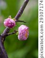 梅花,花,春梅,梅,花、Chunmei、プラム、Prunus mume,flower, chome 29307174
